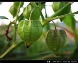tanaman ciplukan