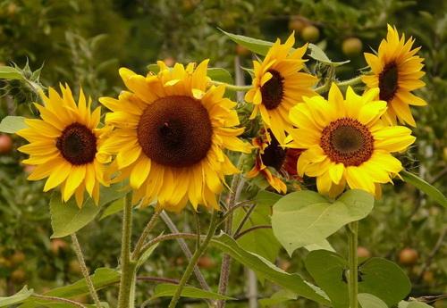 tanaman-bunga-matahari