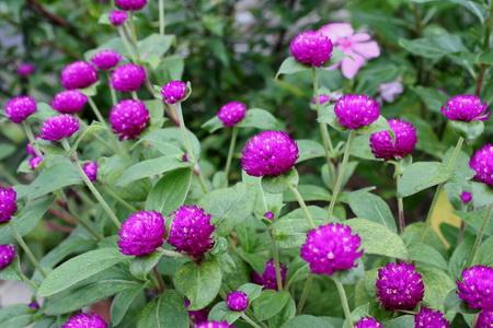 khasiat-bunga-kenop