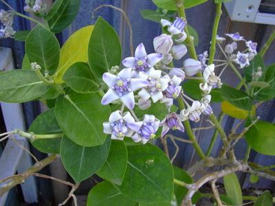 herbal-khasiat-tanaman-biduri