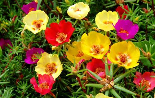 tanaman-cantik-manis