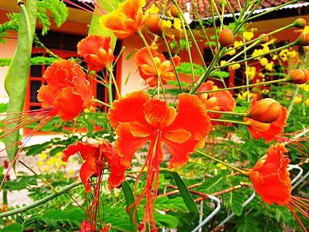 tanaman-kembang-merak