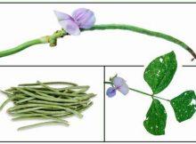 khasiat tanaman kacang panjang