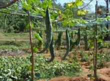 tanaman pare belut