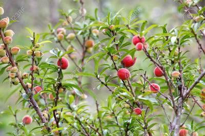 tanaman-persik