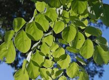 tanaman sonokeling